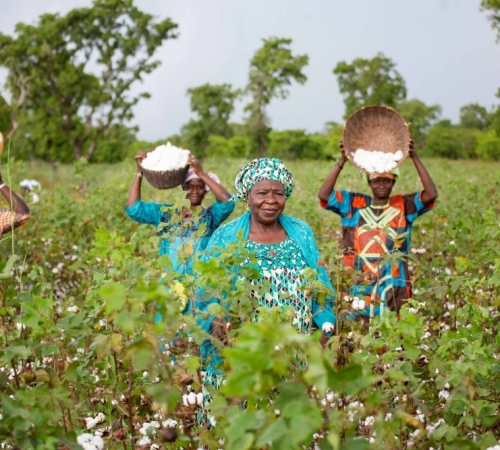 women in the field harvest organic cotton