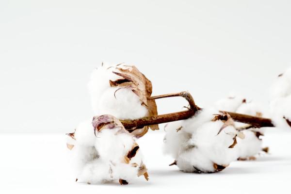 Ein Ast natuerlicher Baumwolle nachhaltige materialien