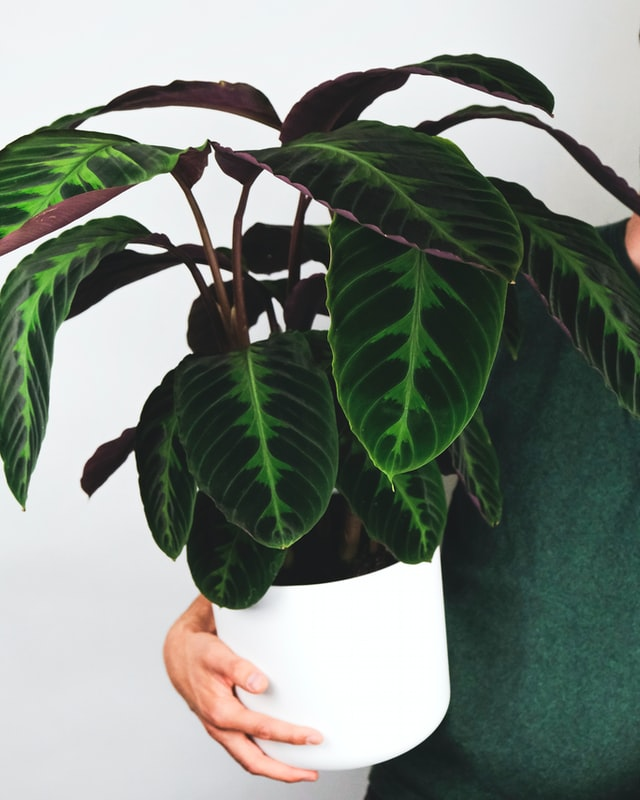 Buy large houseplants online