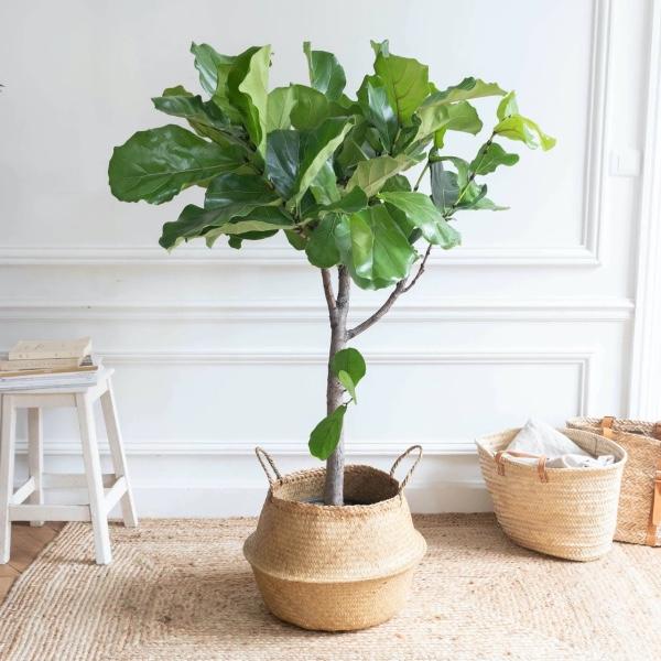 Buy violin fig house plants online