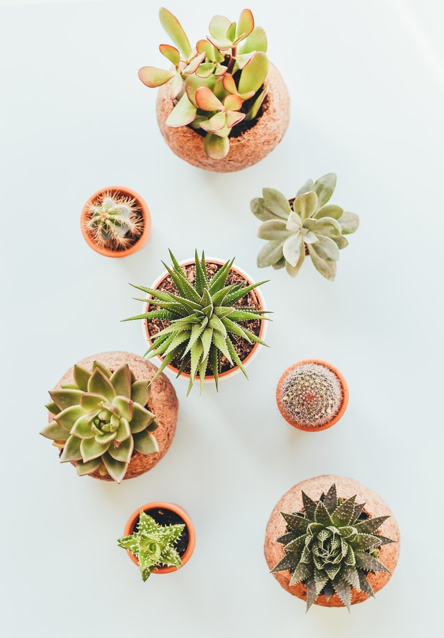 Buy cactus house plants online
